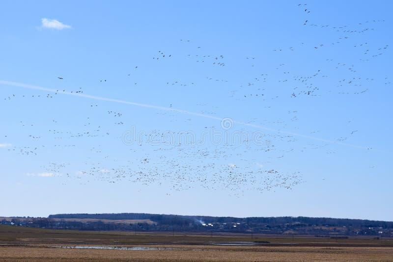 As aves migratórias retornam em casa na mola a seus habitat imagem de stock royalty free