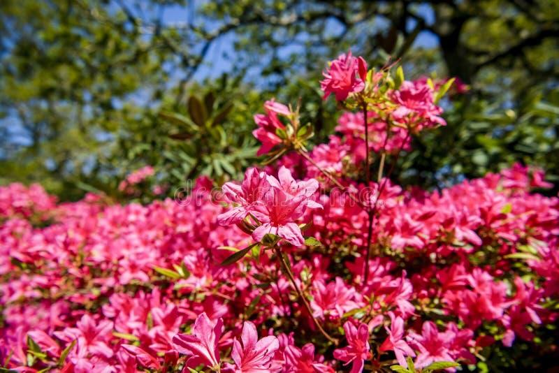 As azáleas florescem em um dia de mola em um jardim inglês foto de stock royalty free