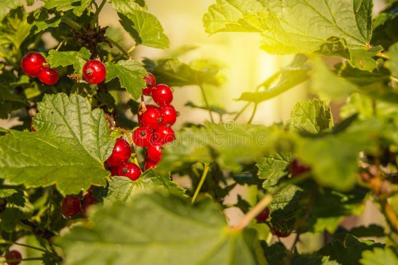As bagas suculentas maduras do corinto vermelho são iluminadas pelos raios do sol do verão, pendurando em um ramo entre o verde fotografia de stock