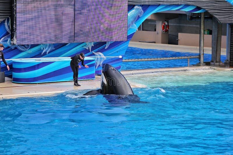 As baleias de assassino mostram no mundo do mar foto de stock royalty free