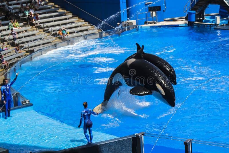 As baleias de assassino no Shamu mostram o mundo Orlando Florida do mar imagem de stock royalty free
