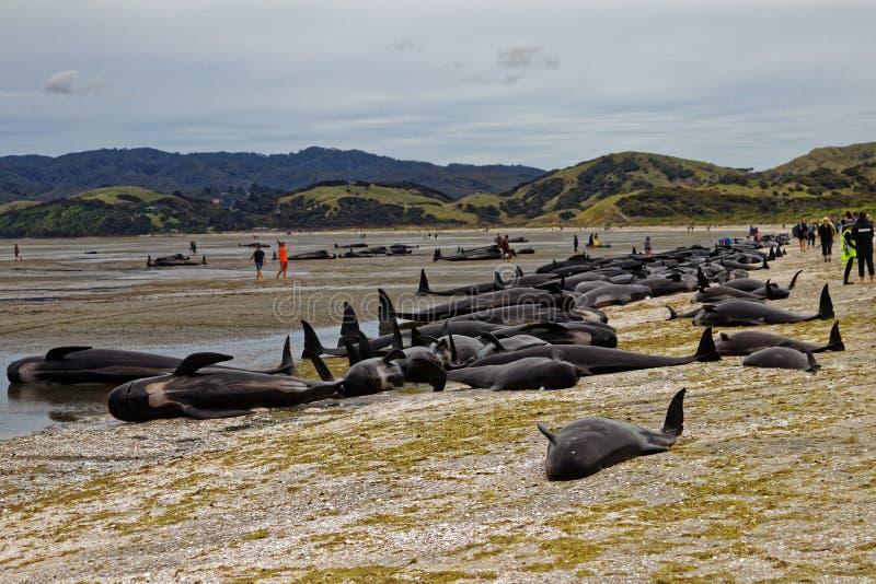 As baleias piloto encalhadas encalharam no cuspe de adeus fotografia de stock royalty free
