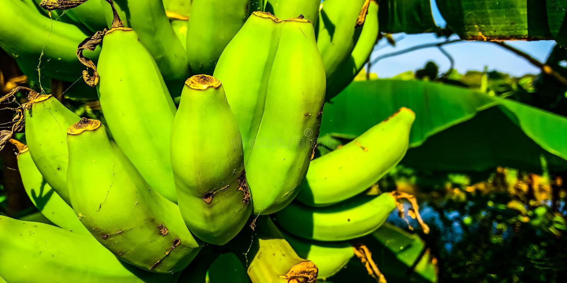 As bananas verdes fotografia de stock royalty free