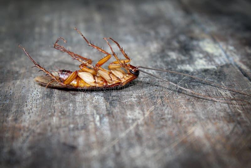 As baratas encontram-se mortos no assoalho de madeira, barata inoperante, próxima acima da cara, fecham-se acima das baratas imagens de stock