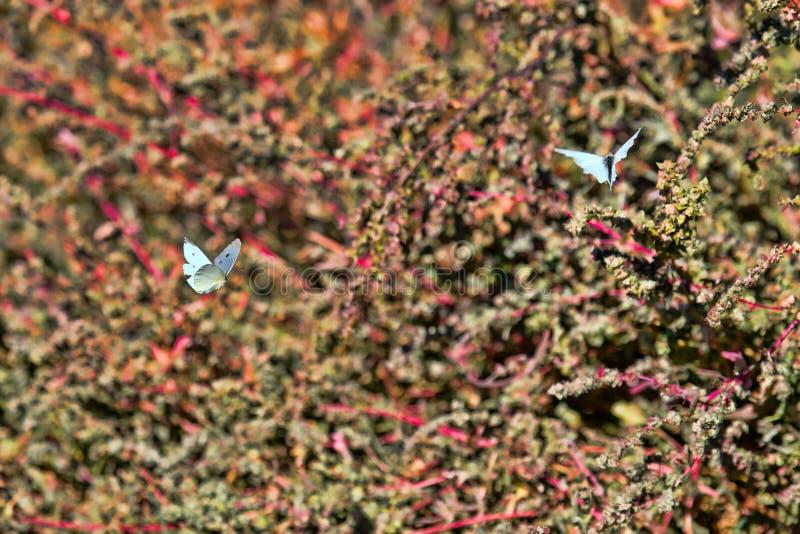 As borboletas vibram na frente de uma cerca verde no jardim dianteiro fotografia de stock royalty free