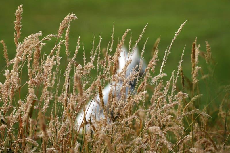 As cabeças da semente da grama do fim do verão escondem um Westie imagens de stock royalty free