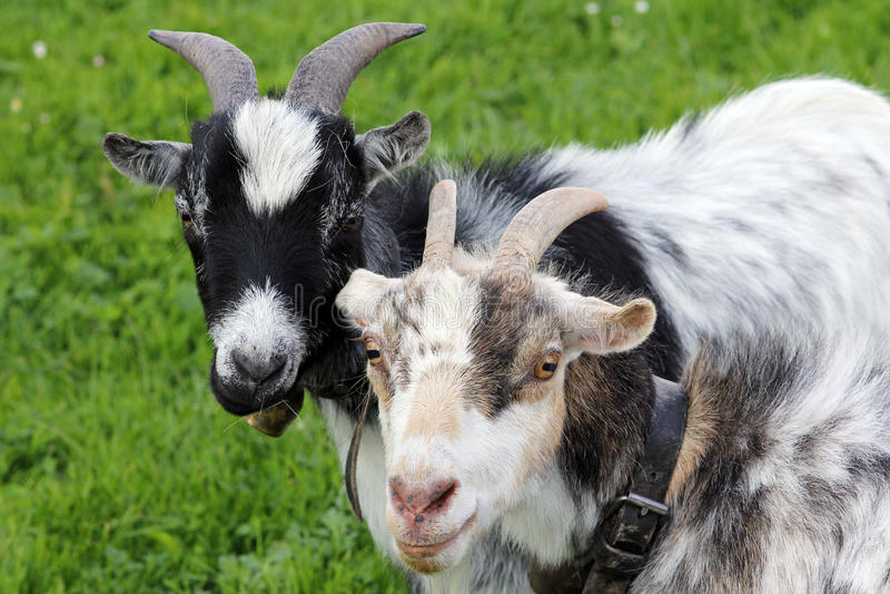 As cabras foto de stock royalty free