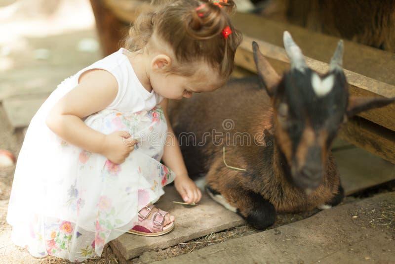 As cabras amigáveis querem um animal de estimação pequeno e algum alimento saboroso desta menina bonito em um jardim zoológico de foto de stock royalty free