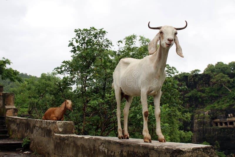 As cabras estão negligenciando orgulhosamente cavernas de Ajanta, o botão do rocha-corte imagem de stock royalty free