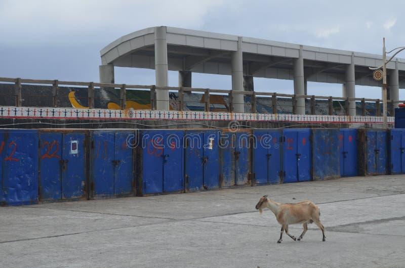 As cabras introduzidas ferozes que vagueiam livre na ilha de Lanyu são uma ameaça à biodiversidade local da planta imagem de stock