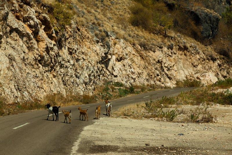 As cabras obstruem a rua, Flores Indonésia fotografia de stock