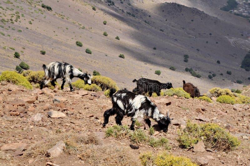 As cabras pastam no monte fotografia de stock royalty free