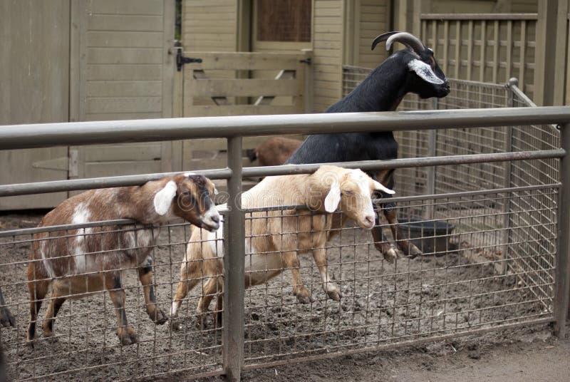 As cabras que colam para fora dirigem para pedir o alimento fotos de stock