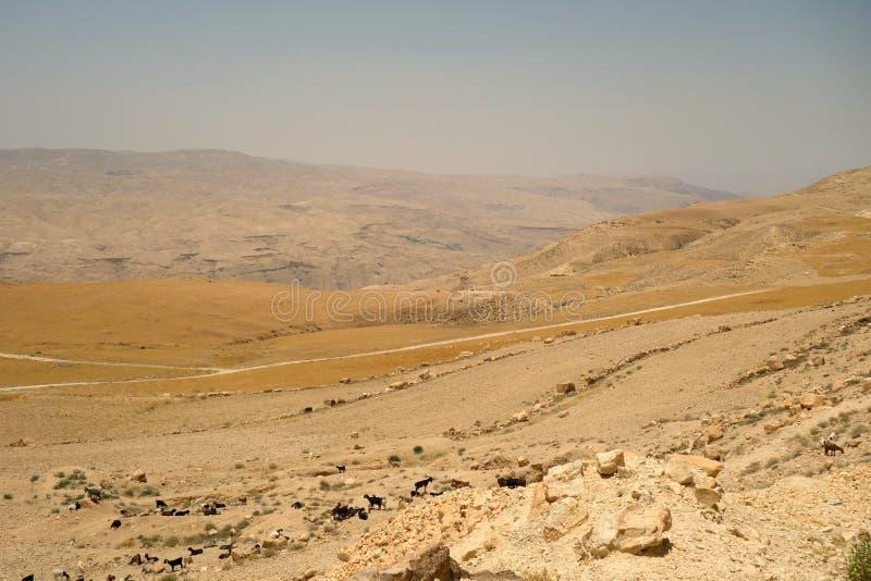 As cabras reunem em Jordânia fotografia de stock royalty free