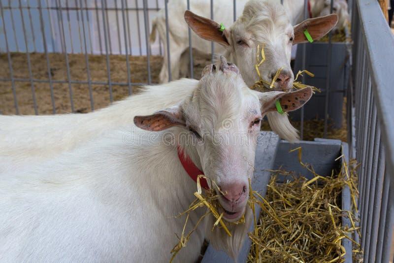 As cabras são comidas dos alimentadores na exploração agrícola fotografia de stock royalty free