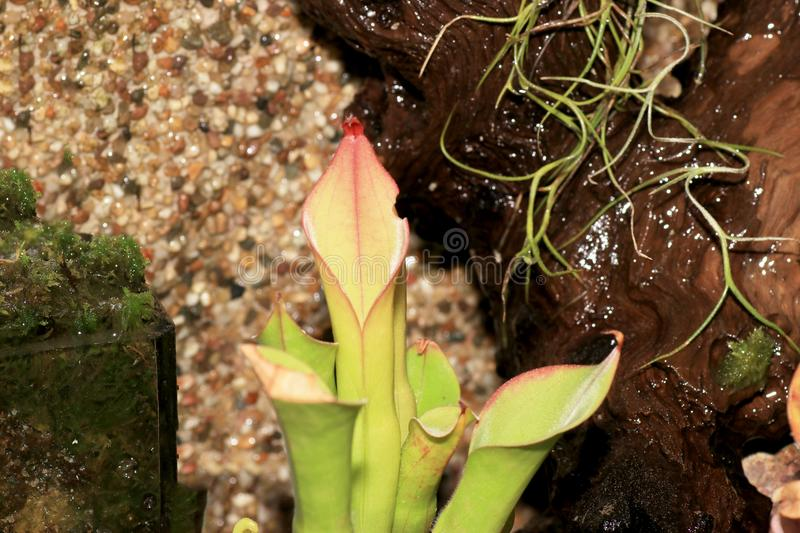 As carnivorous plants, carnivores. Or insectivores are called plants, nthe by means of converted leaves catch mostly single-celled or arthropods,nn royalty free stock image
