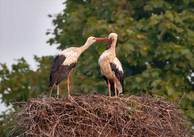 As cegonhas brancas preparam-se no ninho após ter produzido a estação imagem de stock