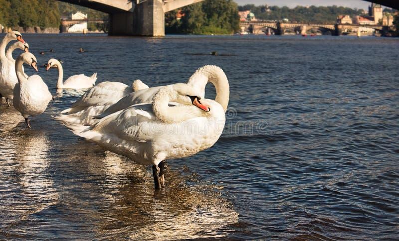 As cisnes brancas fecham-se acima no rio Vltava da água azul Reflexão da água imagem de stock royalty free