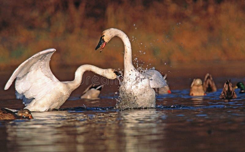 As cisnes de tundra lutam sobre o território fotografia de stock