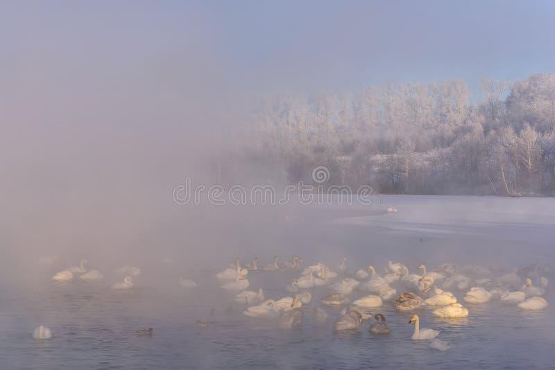 As cisnes do lago enevoam a geada das árvores fotos de stock royalty free