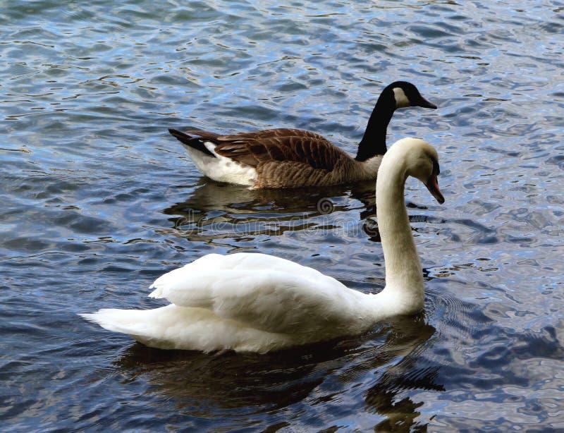 As cisnes, duas cisnes nadam nas ondas fotografia de stock royalty free
