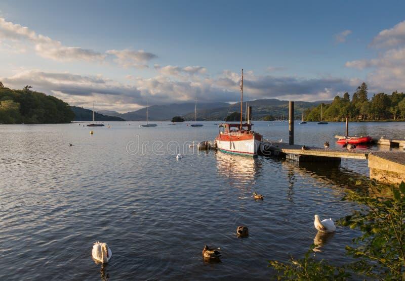 As cisnes mudas, os patos e o barco de pesca banharam-se no lago Windermere da luz da tarde fotos de stock