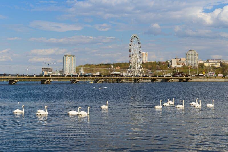 As cisnes nadam na baía da cidade do rio Cheboksary R?ssia imagens de stock royalty free