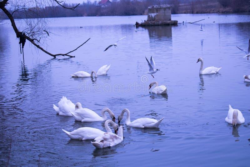 As cisnes nadam no rio e na gaivota azuis imagem de stock