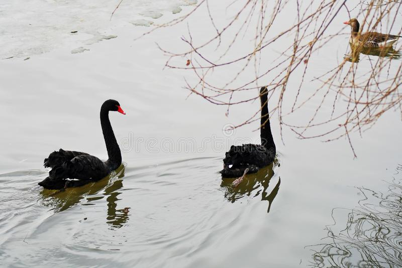 As cisnes pretas nadam em uma lagoa imagem de stock