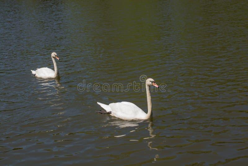 Download As Cisnes Sós Vivem No Ambiente Natural Imagem de Stock - Imagem de pássaro, ambiente: 80102879