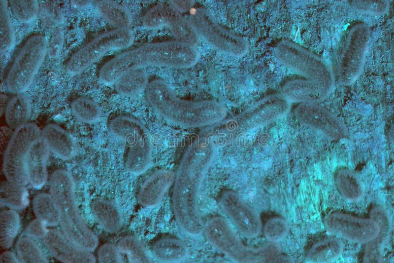 As colônias do tipo selvagem bactérias que expressam azul e cor-de-rosa amarelos expressam fotos de stock royalty free
