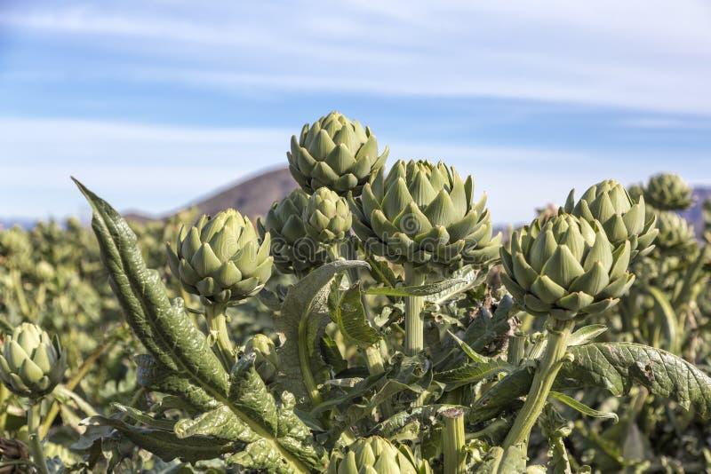 As colheitas da alcachofra foto de stock