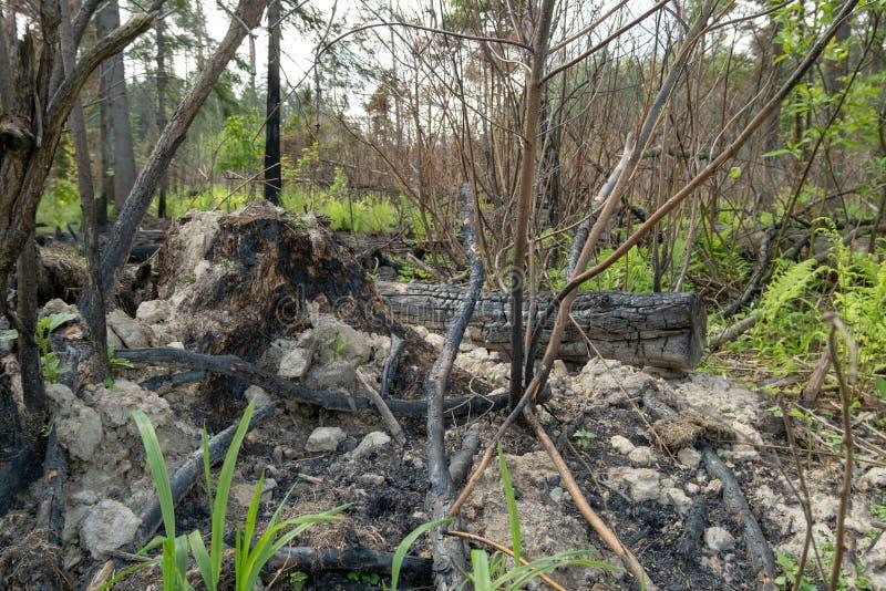 As consequências de um fogo nas sobras da floresta de árvores e de arbustos queimados imagens de stock royalty free