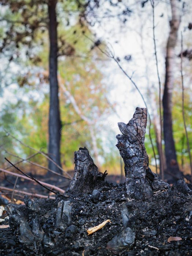 As consequências dos incêndios florestais, as cinzas de árvores queimadas fotografia de stock royalty free