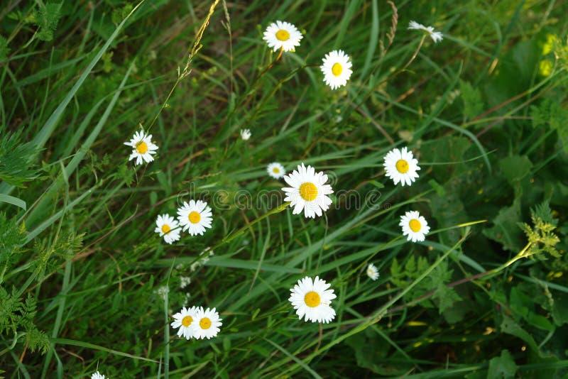 As cores do verão Wildflowers da camomila imagem de stock