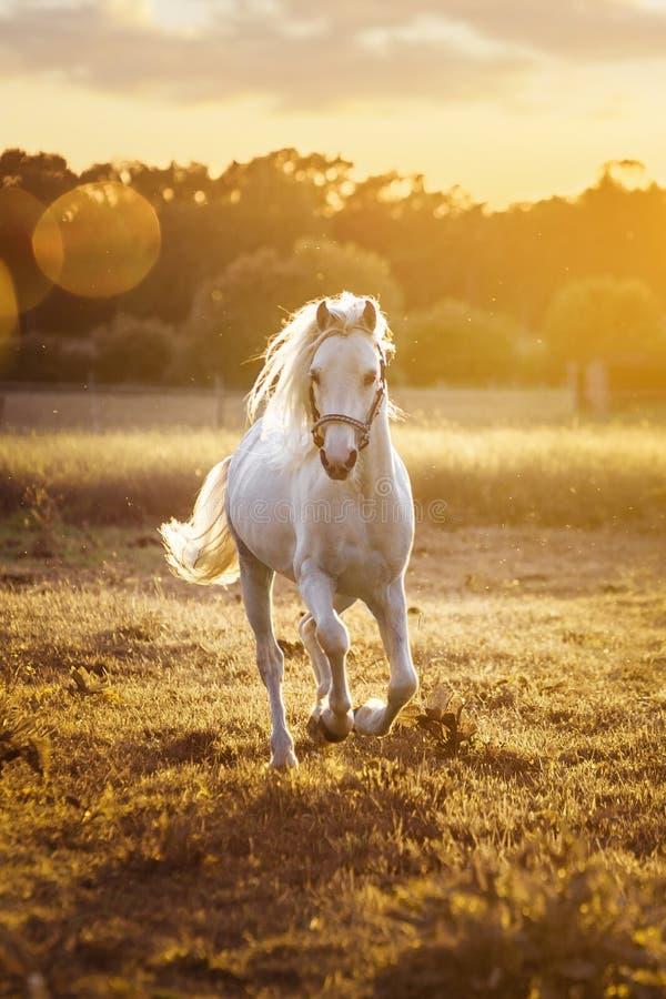 As corridas do cavalo branco galopam no campo no por do sol imagens de stock royalty free
