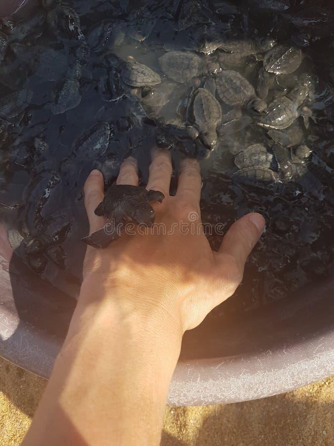 As crianças chocaram recentemente a tartaruga nas mãos do homem em Bentota, Sri Lanka foto de stock