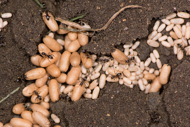 As crisálidas pretas comuns da formiga (Lasius niger) fecham-se acima fotografia de stock