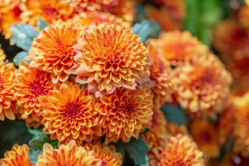 As dálias alaranjadas florescem e folha verde no jardim no dia ensolarado do verão ou de mola para a decoração da beleza do cartã imagens de stock royalty free