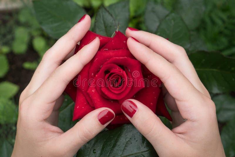 As duas mãos das mulheres com um tratamento de mãos vermelho bonito tocam delicadamente nas pétalas de uma rosa vermelha Símbolo  fotografia de stock royalty free