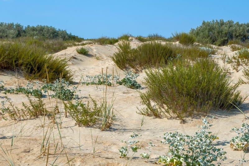 As dunas de areia do deserto secam os espinhos dos arbustos dos traços da estrada da seca das plantas imagens de stock