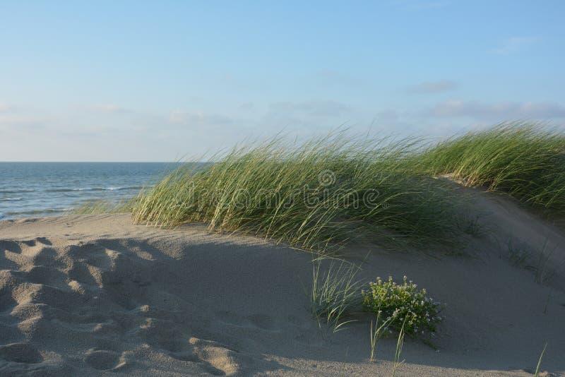 As dunas gramam no vento na praia do Mar do Norte com muitos a areia imagens de stock