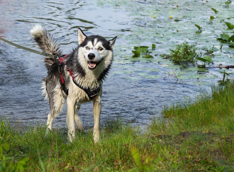 As emoções roncas após nadar, cão de puxar trenós molhado na praia no movimento, saltando dentro espirram o fundo da água foto de stock royalty free