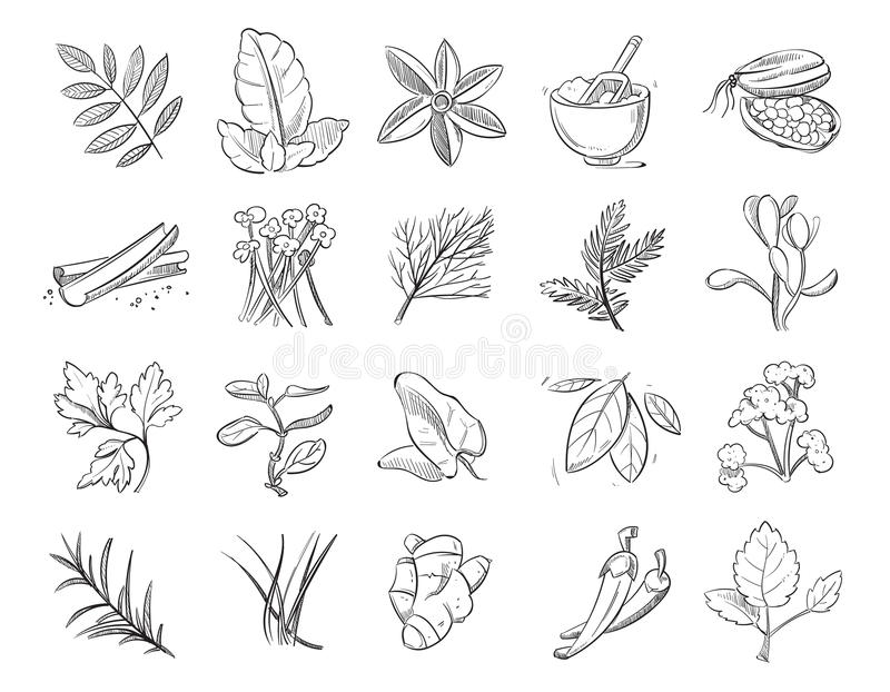 As ervas do vintage e as especiarias tiradas mão, desenho de esboço plantam a coleção do vetor ilustração do vetor