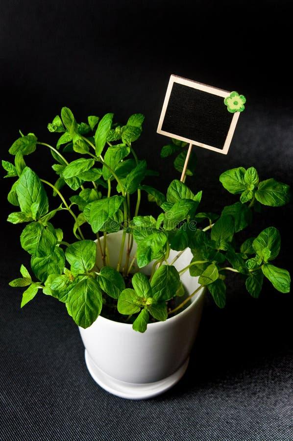 As ervas no potenciômetro branco no fundo preto Mint imagens de stock