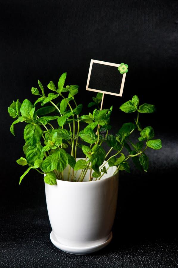 As ervas no potenciômetro branco no fundo preto Mint fotos de stock