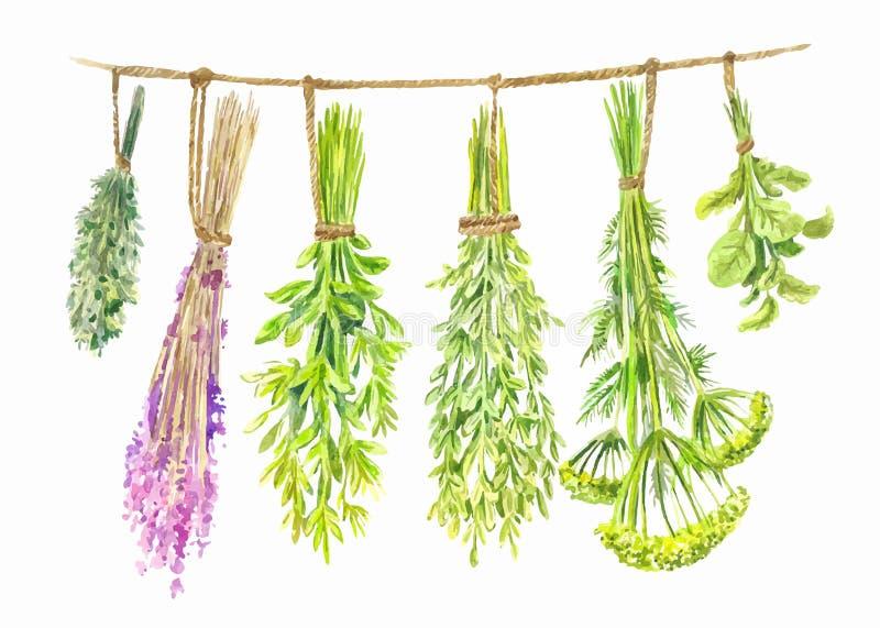As ervas são secadas em uma corda Ilustração do verão da aquarela ilustração royalty free