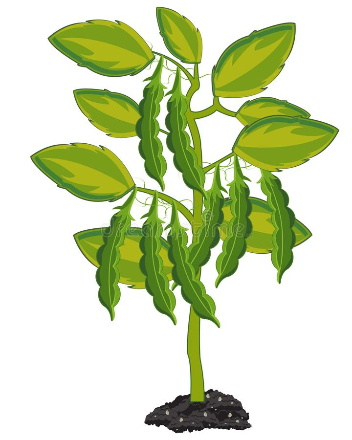 As ervilhas da planta no fundo branco são isoladas ilustração royalty free