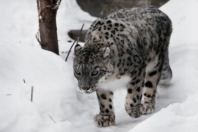 As espreitadelas do leopardo de neve acima na fuga, em um gato grande e forte aspirando olhares da neve como sneaking até a rapin fotografia de stock royalty free
