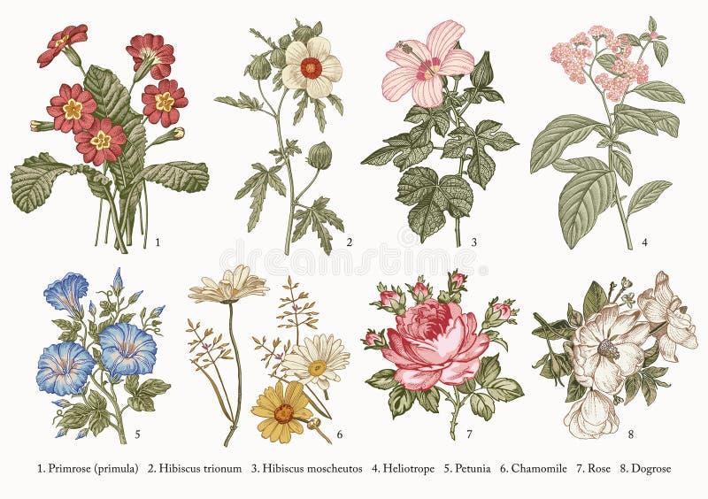 As flores ajustadas da Botânica que tiram a gravura Vector a camomila Rosa do petúnia do heliotrópio do hibiscus da prímula da il ilustração stock